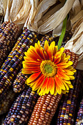 Gerbera Daisy Posters - Mum and Indian corn Poster by Garry Gay