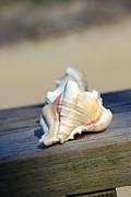 Carolyn Stagger Cokley - Murex Shell 3164