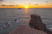 Flight Prints - Muriwai Gannet Colony at Sunset Print by Colin and Linda McKie