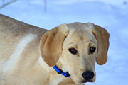Patti Whitten - Yellow Lab Puppy