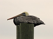 Making Memories Photography LLC - Murrells Inlet Pelican 1