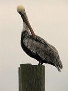 Making Memories Photography LLC  - Murrells Inlet Pelican 2