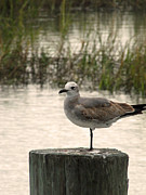 Making Memories Photography LLC - Murrells Inlet Seagull 2