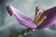 Flowers Of Hawaii Photos - Musa ornata - Pink Ornamental Banana Flower - Kepaniwai Maui Hawaii  by Sharon Mau