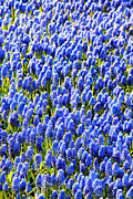 Bulbs Prints - Muscari Early Magic Print by Jasna Buncic