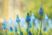 Muscari Faerie Land Print by Lisa Knechtel