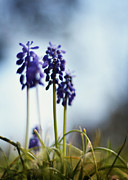 Grape Hyacinths Posters - Muscari Poster by Rebecca Sherman