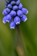 Hill and Dale Photography - Muscari Rising