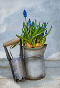 Hyacinth Photos - Muscari by Robin-lee Vieira