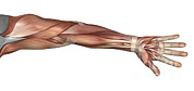 Human Body Parts Posters - Muscle Anatomy Of The Human Arm Poster by Stocktrek Images
