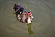 Terry Thomas - Muscovy Duck