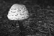 Blackandwhite Photo Metal Prints - Mushroom Metal Print by Adam Romanowicz