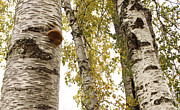 R Barba - Mushroom On Birch Tree
