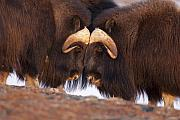 Musk Prints - Musk Ox Head to Head Print by Tim Grams
