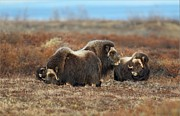 Daniel Behm - Musk Ox on the Tundra in...