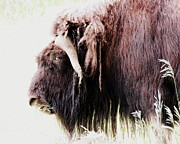 Ramona Johnston Framed Prints - Muskox Framed Print by Ramona Johnston