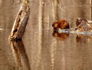 Flooded Framed Prints - Muskrat In Flooded Waters Framed Print by Thomas Young