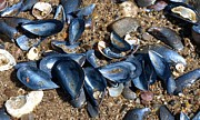 C Kirby - Mussel Shells on the...