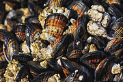 Mark Kiver Prints - Mussels and Barnacles Print by Mark Kiver