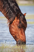 Eat Free Prints - Mustang Feeding in the Marsh Print by Bob Decker
