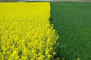 Andy Fletcher - Mustard Field and Grass