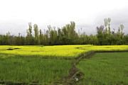 India Prints - Mustard fields in Kashmir Print by Ashish Agarwal