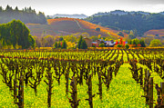 Sonoma County Vineyards. Framed Prints - Mustard Growing Amidst Rows of Vines Framed Print by Tirza Roring