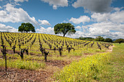 Kent Sorensen - Mustard in The Vineyards