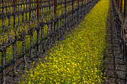 Flowering Vines Posters - Mustrad grass in the vineyards Poster by Garry Gay