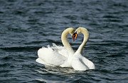 Swans... Prints - Mute Swan Affectionate Pair Print by Konrad Wothe