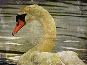 Waterfowl Prints - Mute Swan Print by Alyce Taylor