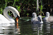 Mick Gosling - Mute Swan and Cygnets