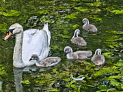 Swann Digital Art - Mute Swan And Cygnets by Peter Chapman