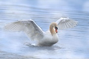 White Swan Photos - Mute Swan by Angie Vogel
