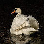 Bob and Jan Shriner - Mute Swan