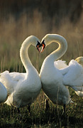 Interacting Prints - Mute Swan Cygnus Olor Pair Courting Print by Flip De Nooyer
