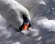 Dale   Ford - Mute Swan