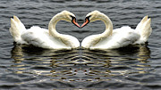 Wing Mirror Posters - Mute Swan Heart Poster by Avril Harris