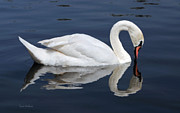Susan Wiedmann Metal Prints - Mute Swan Kissing Its Reflection Metal Print by Susan Wiedmann