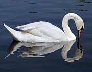 Susan Wiedmann - Mute Swan Kissing Reflection