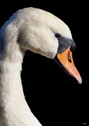 Orange Ceramics Metal Prints - Mute Swan Metal Print by Wobblymol Davis