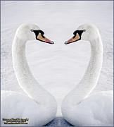 LeeAnn McLaneGoetz McLaneGoetzStudioLLCcom - Mute Swan melting hearts
