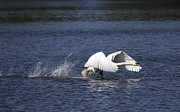 Flying Mute Swan Framed Prints - Mute swan taking off Framed Print by Allan Bell