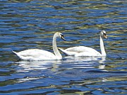 Clear Mixed Media - Mute Swans - Clear Lake by Photography Moments - Sandi