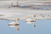Debra Vronch Metal Prints - Mute Swans Metal Print by Debra Vronch
