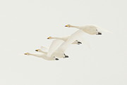 Swan In Flight Prints - Mute Swans in Flight Print by Akihiro Asami