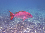 Nassau Grouper Prints - Mutton Snapper Profile Print by Carey Chen