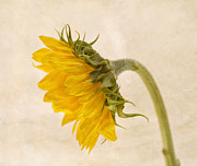 Sunflower Decor Prints - My Better Side Print by Kim Hojnacki