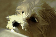 Maltese Dog Posters - My Bichon Maltese Poster by AmaS Art