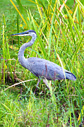 Concord Metal Prints - My Blue Heron Metal Print by Greg Fortier